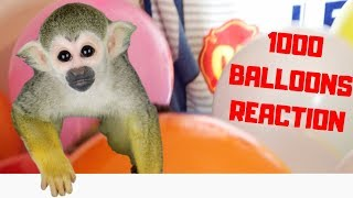 FUNNY Baby Monkey Reacts to 1000 Balloons!