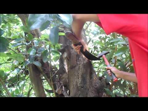 Récolte de la Cannelle (été 2016 - Martinique)