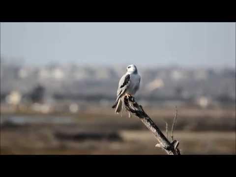 White-tailed Kite Calls And Preens