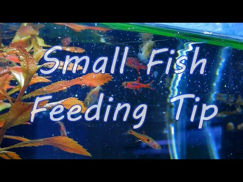 Small Fish Feeding Tip