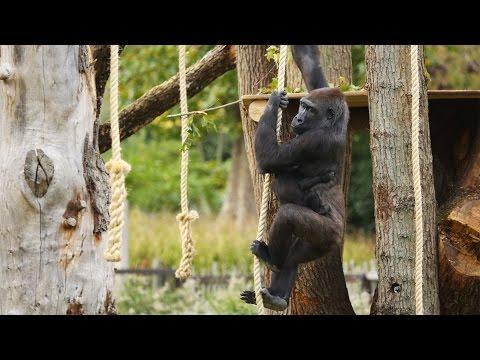 Gorillas love their new treehouse!