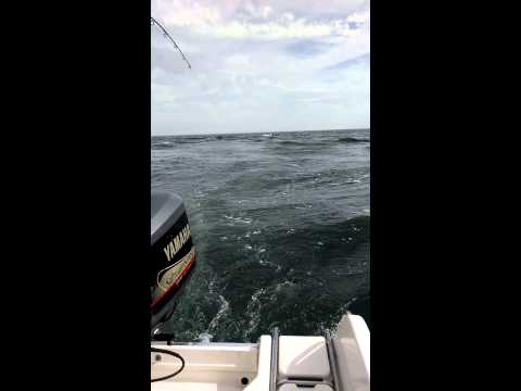 Monomoy Rips Striper Fishing 7-17-14