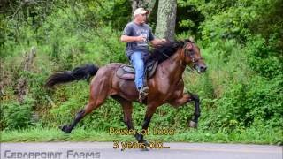 2 & 3 Year old Racking horses - Cedarpoint Farms