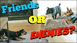 Will Our Dogs Be FRIENDS or ENEMIES???