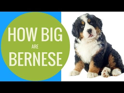 How Big Are Bernese Mountain Dogs? | Bernese Of The Rockies