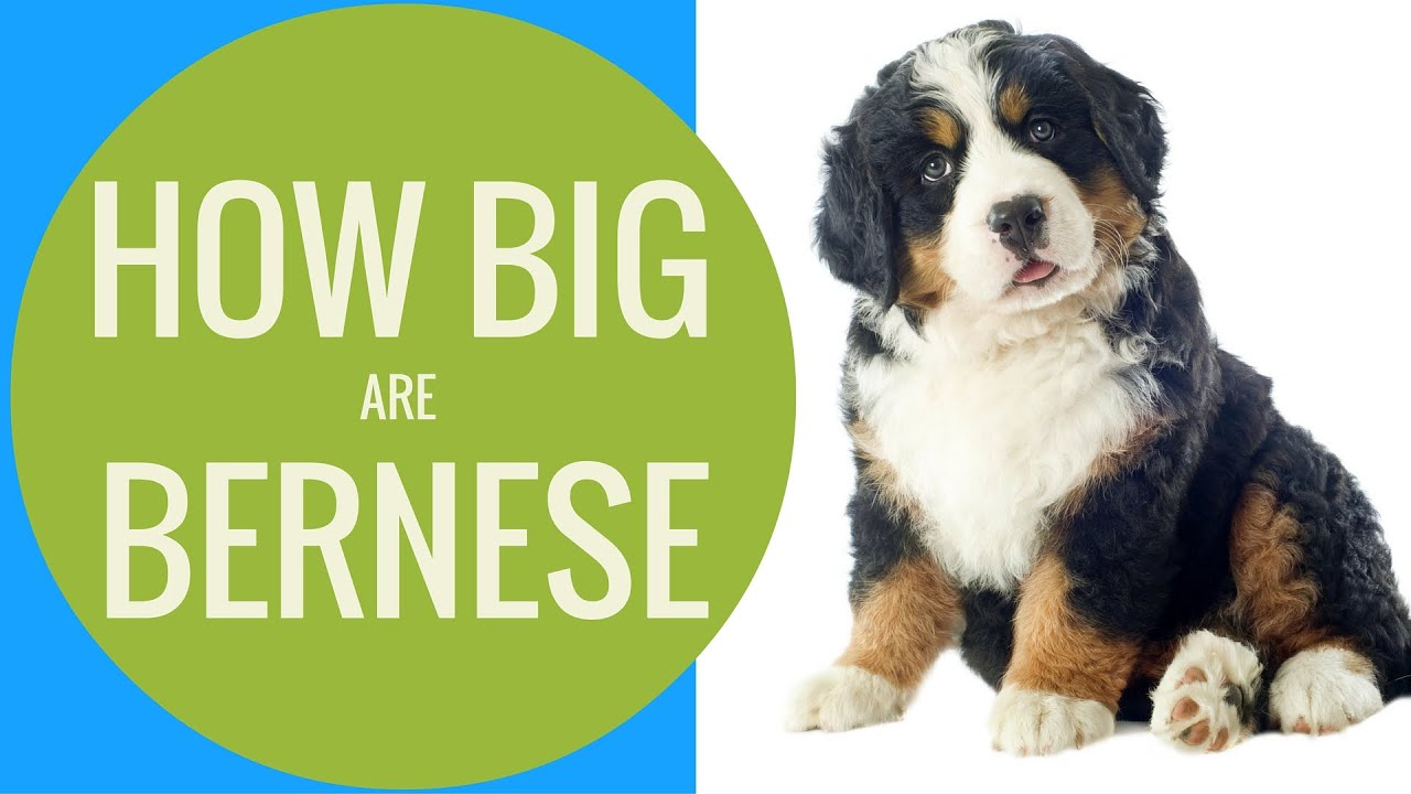 How Big Do Bernese Mountain Dogs Get