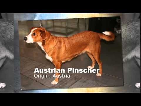 Austrian Pinscher Dog Breed 1