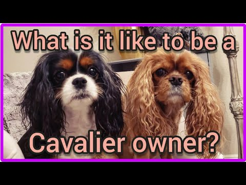 What's it like to have Cavalier King Charles Spaniels?