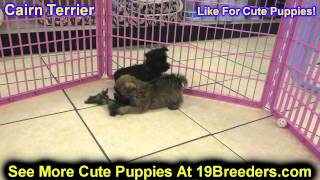 Cairn Terrier, Puppies, For, Sale, In, Lansing, Michigan, Mi, Oakland, Macomb, Kent, Genesee, Washte