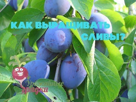 Слива Уральский чернослив - Плодовые - Слива - Семена и