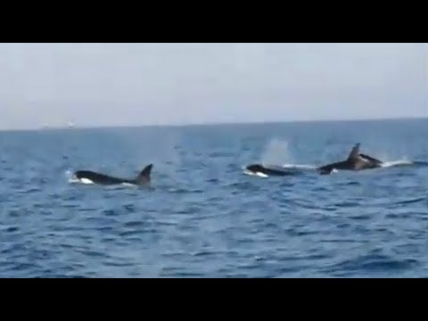 Fishing Adventures #53 - (Killer) Whale Orca Watching in the Arabian Gulf offshore Abu Dhabi