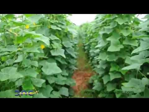 Gherkin farm