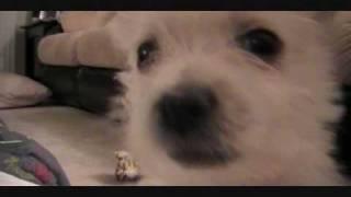 Zoe - 9 Week Old Westie Puppy (barking)