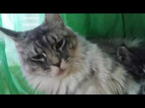 Le maine coon parle ! Gold coon's
