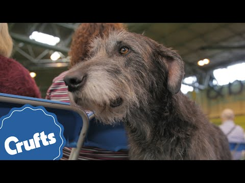 The Deerhound | Crufts Breed Information