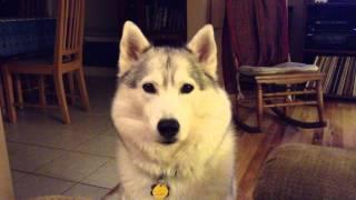 Siberian husky saying I love you