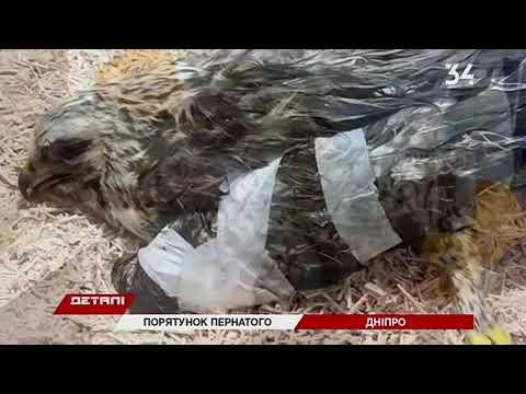34 телеканал: В Днепре спасают канюка Снежу, который прилетел из Тундры