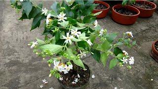 How To Make Bonsai Parijat / Shiuli / Night Jasmine Plant (6 Years Update)