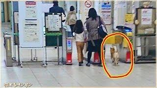 柴犬がキセル乗車で逮捕? 外国人もビックリ!日本で起こった可愛い事件...