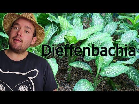 Dieffenbachia: Aussehen, Standort und Pflege