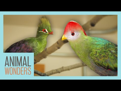 Our Turacos: New Homes, Training, and More