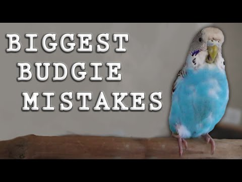The BIGGEST Mistakes Made With Parakeets (Budgies)