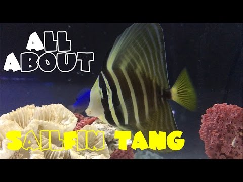 All About The Sailfin Tang | Zebrasoma Velifer