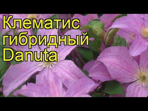Клематис гибридный Данута. Краткий обзор, описание характеристик clematis Danuta