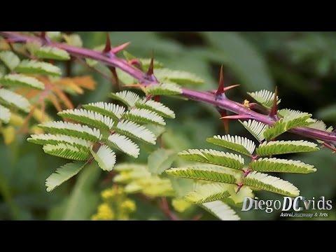 Mimosa bimucronata - Maricá - 光荚含羞草 (Mimoseae)