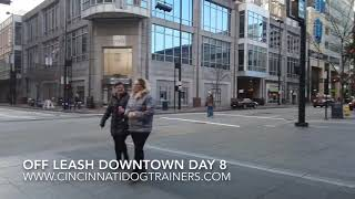 2 Yr Old Aussie/Collie Mix Scout Downtown at Cincinnati Dog Trainers Off Leash K9