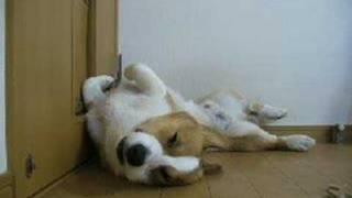 Goro@welsh Corgi 20070916 Sleeping