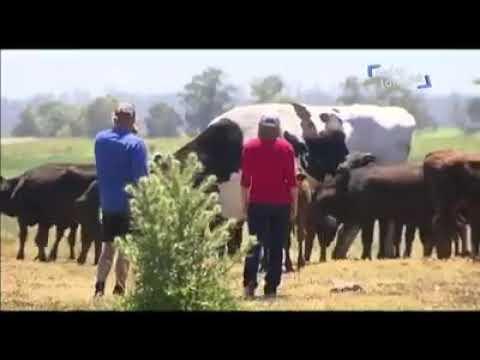 El Gallo Por La Mañana - El Buey Mas Grande Del Mundo