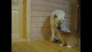 Дружба кошек и собак  Трогательное видео дружбы и милые приколы с кошками и собаками 2
