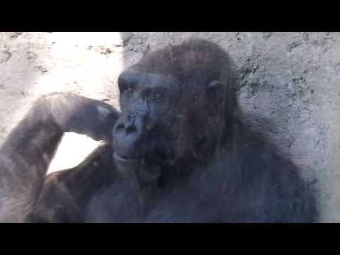 Thumbnail: GORILLA PLAYS WITH BOY AT ZOO! Funny!