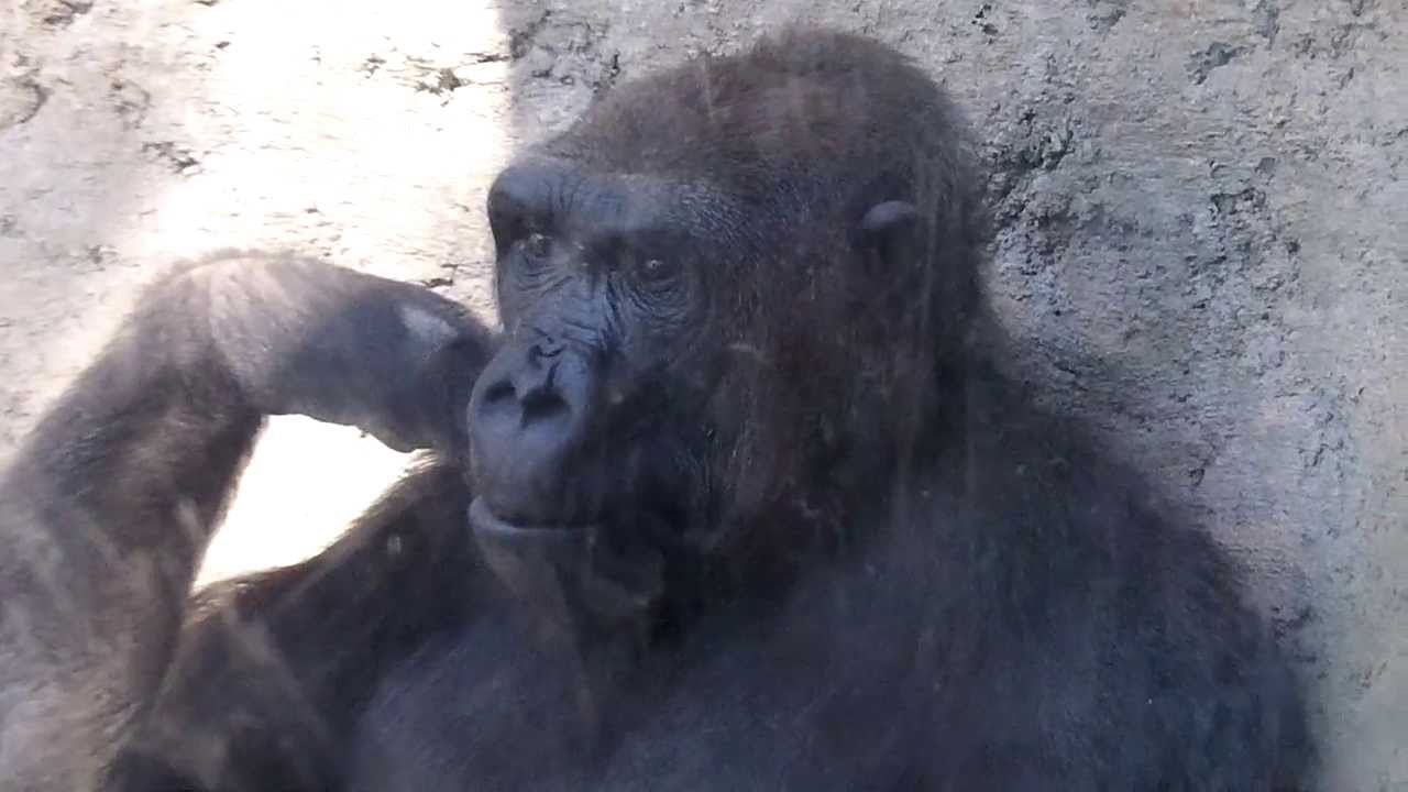 gorilla plays with boy at zoo funny youtube
