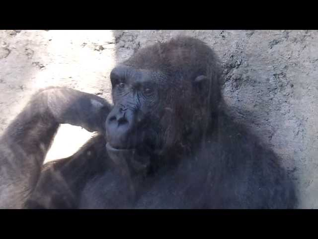 GORILLA PLAYS WITH BOY AT ZOO! Funny!