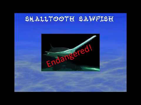 Small Tooth Sawfish A School Project By Gavin
