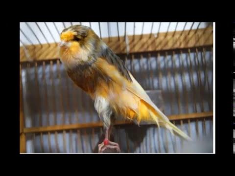 Download Lagu suara kenari isian ciblek untuk masteran - Burung KENARI JUARA