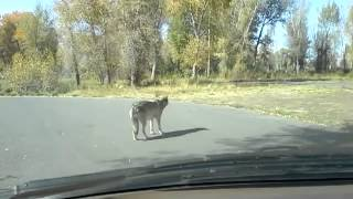 Wolf stalks family near Yellowstone.
