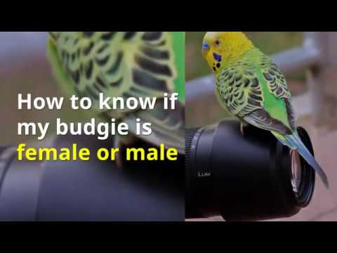 How to know budgie is male or female