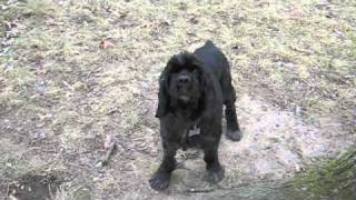 This Video Previously Contained A Copyrighted Audio Track. Due To A Claim By A Copyright Holder, The Audio Track Has Been Muted.     Morpheous - One Of The Lucky 13 Obg Cocker Spaniel Rescue