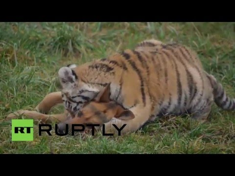 Slovakia: Endangered Siberian tigers befriend pet dogs at Oaza reserve