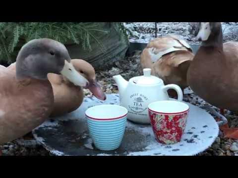 Trädgårdsankorna -The Story - Swedish Ducks