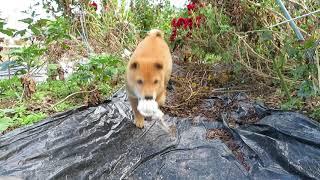 ロープのおもちゃをくわえて走る山陰柴犬の子犬モモです。