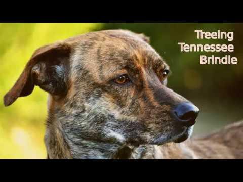 Treeing Tennessee Brindle - medium size dog breed