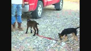 Goat Plus Dog Divided By Leash
