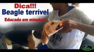 Beagle com problemas de comportamento - Resolvido em minutos! #25