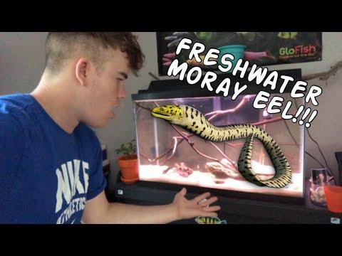 My New FRESHWATER MORAY EEL!!!!