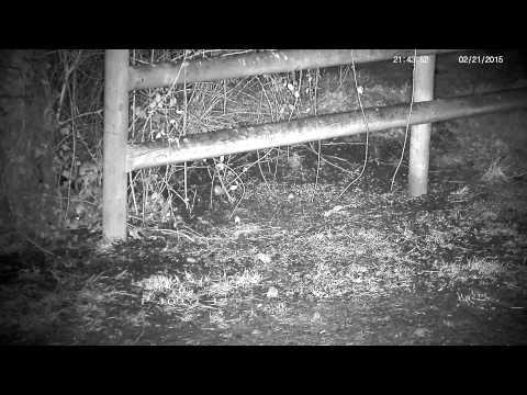 Bouncy rural field mice !
