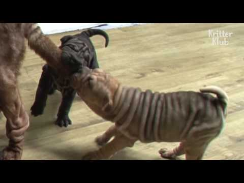 Shar Pei Puppy Siblings Compete For Mom's Milk | Kritter Klub